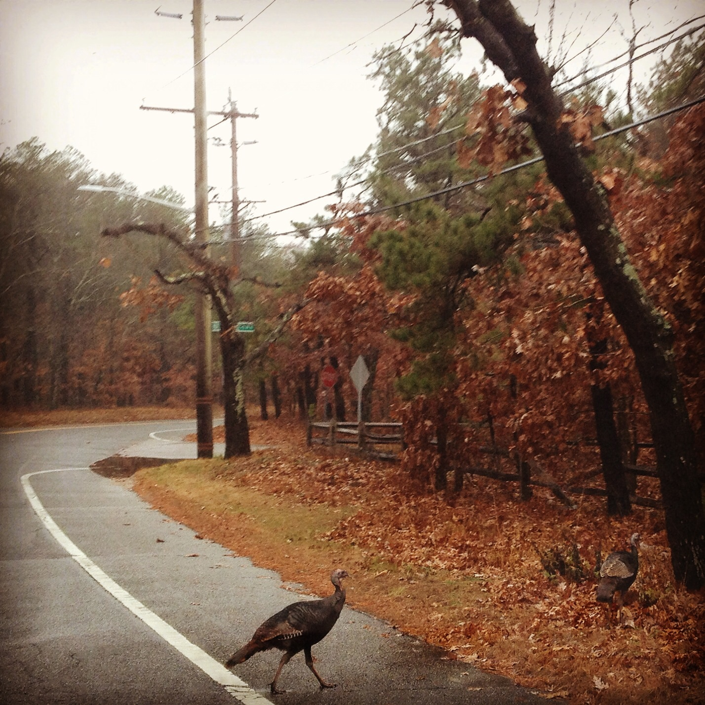 Wild Turkey Crossing - Long Island, NY