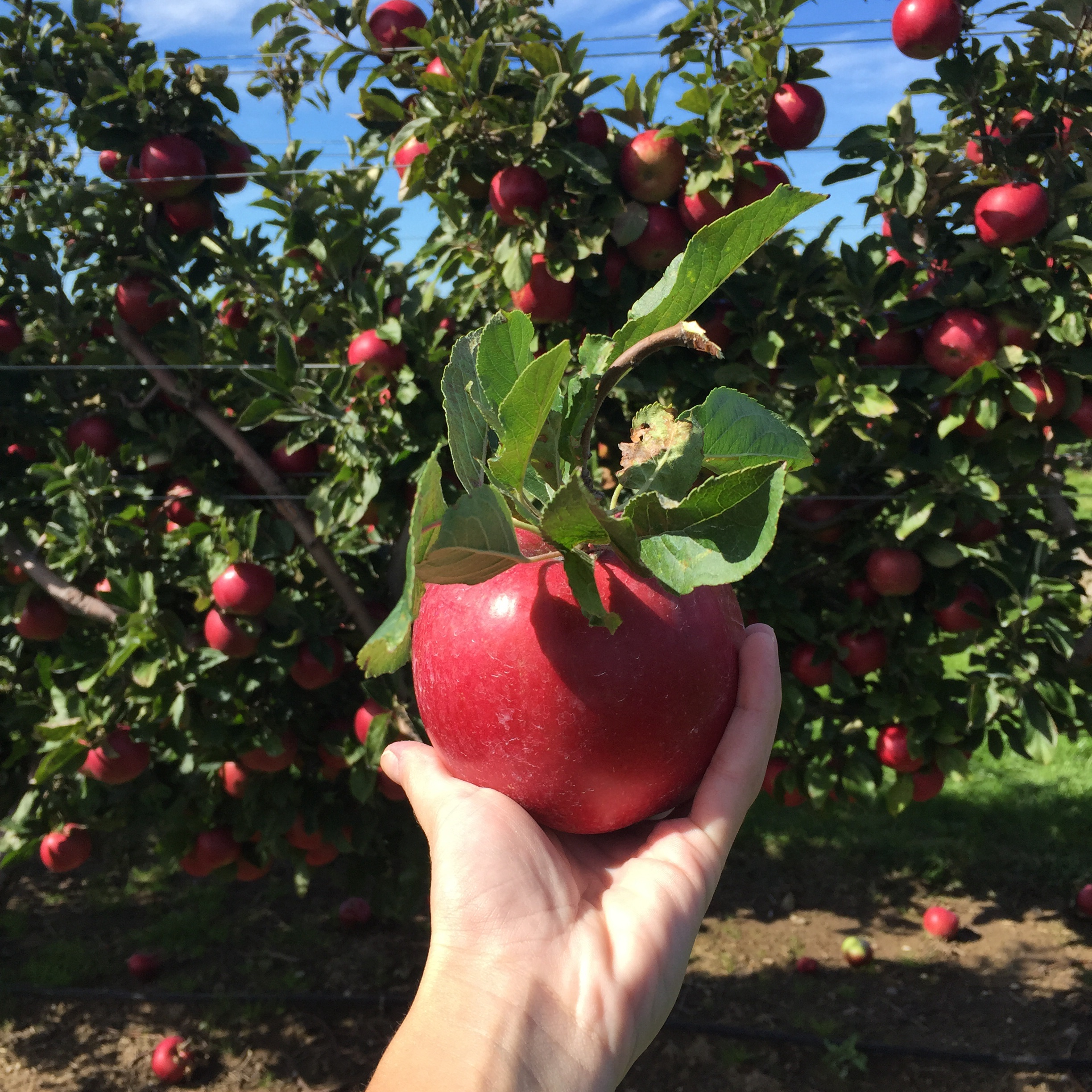 Apple Picking at the Milk Pail